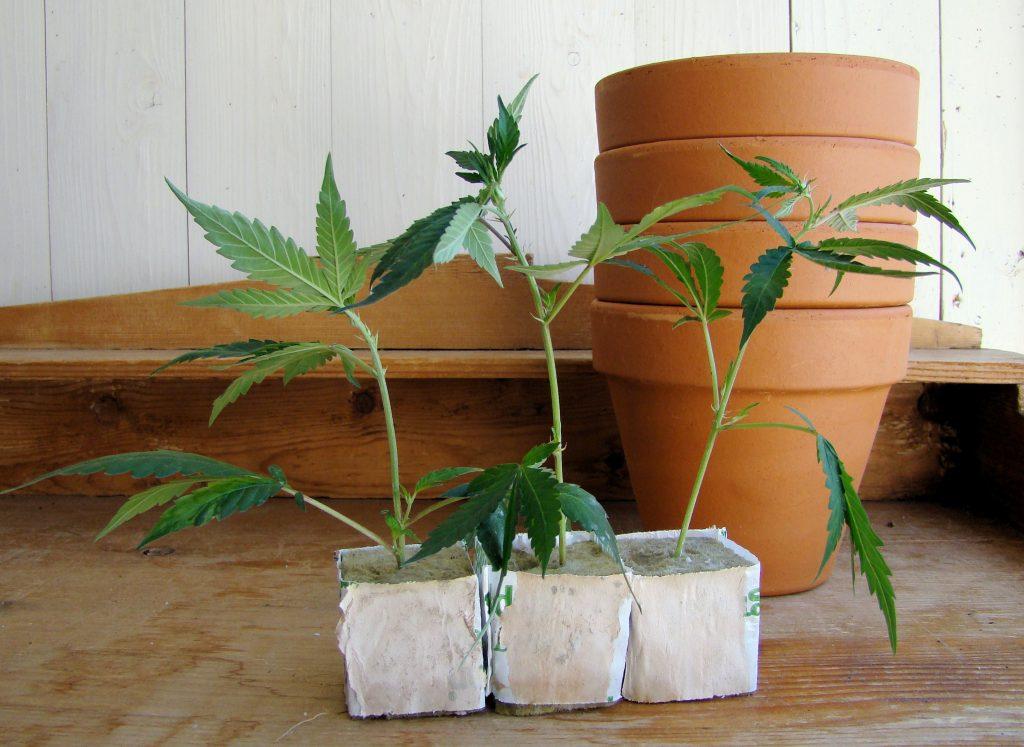 groeiperiode van wietplanten
