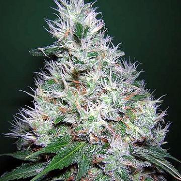 Medicinale gebruik van cannabis